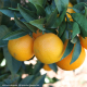 Oranges (laranjas), Quinta cultivation, Kg