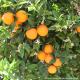 Apfelsine; SommerOrange  Valencia Late, Quinta-Anbau Kg