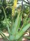 Aloe Vera Frischblatt, Barbadensis Miller, ca. 500g-600g Blatt
