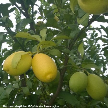 Zitronen  (Limao) Quinta-Anbau Kg ab