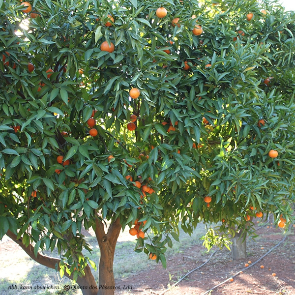 Clementines Different Varieties Quinta Cultivation Kg