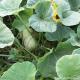 Butterkürbis, Quinta-Anbau,  Stück