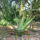 Aloe Vera Frischblatt, Barbadensis Miller Quinta-Anbau