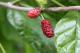 Maulbeeren süß, getr., naturbelassen aus Wildsammlung, Rohkost